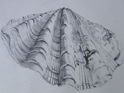 500x375 Scallop Shell Pencil Drawing Scallop Shells And Printmaking