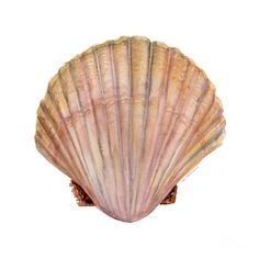 236x236 Image Result For Scallop Shell Drawings Gallery Glass Patterns