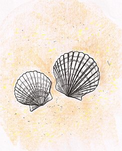 243x300 Scallop Shell Drawings Fine Art America