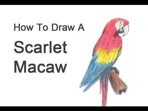 480x360 How To Draw A Macaw (Scarlet Macaw)