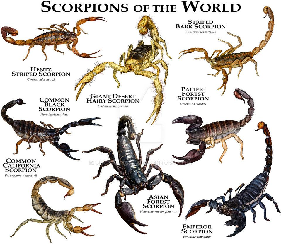 959x833 Scorpions Of The World By Rogerdhall Science