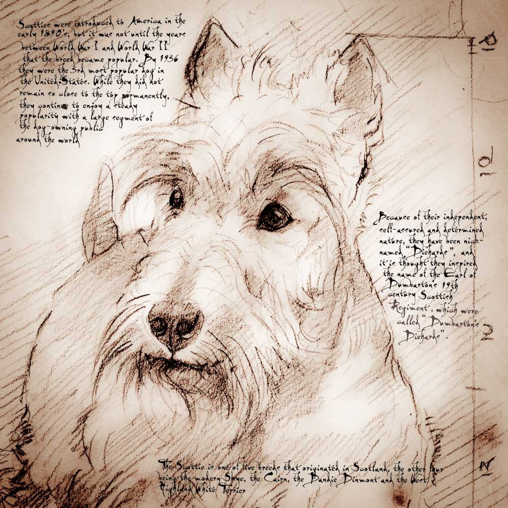 1000x1000 Scottish Terrier Face Detail Of A Da Vinci Style Drawing