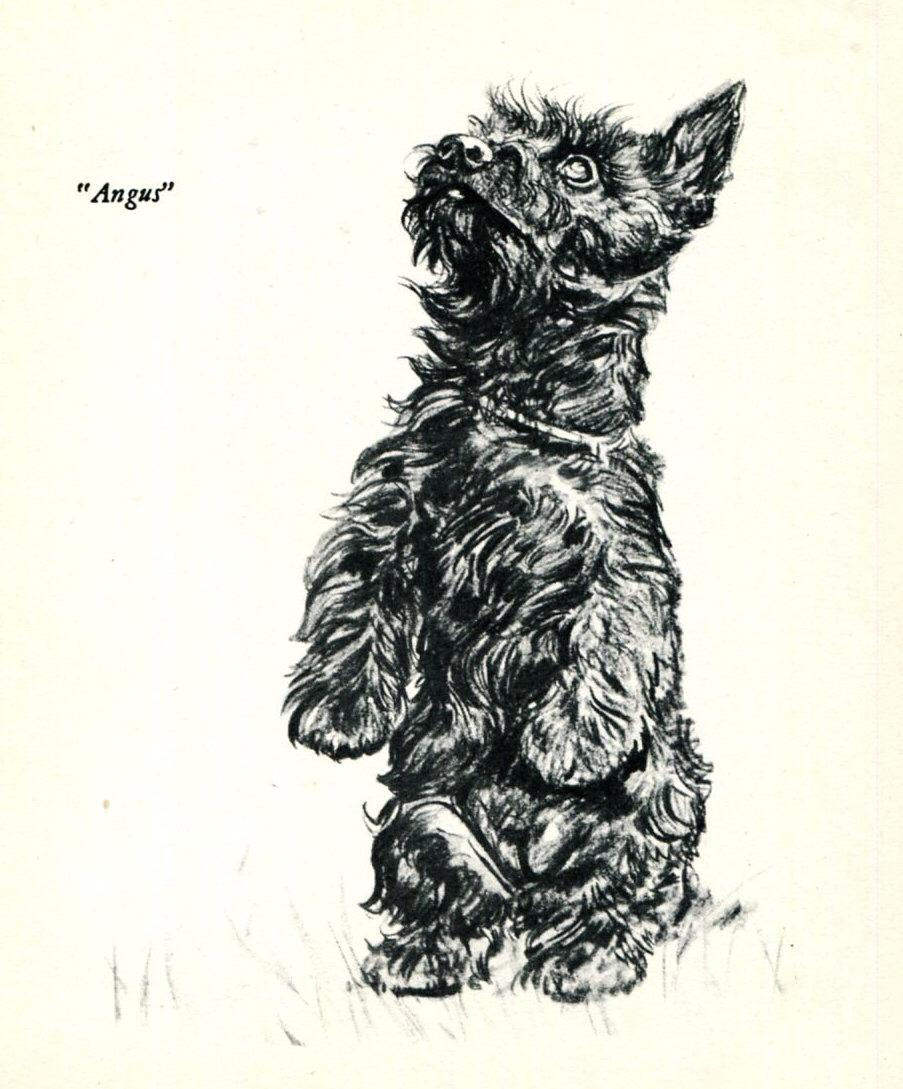 903x1089 Scottish Terrier Puppy Dog Sketch Illustration Diana Thorne 1940'S