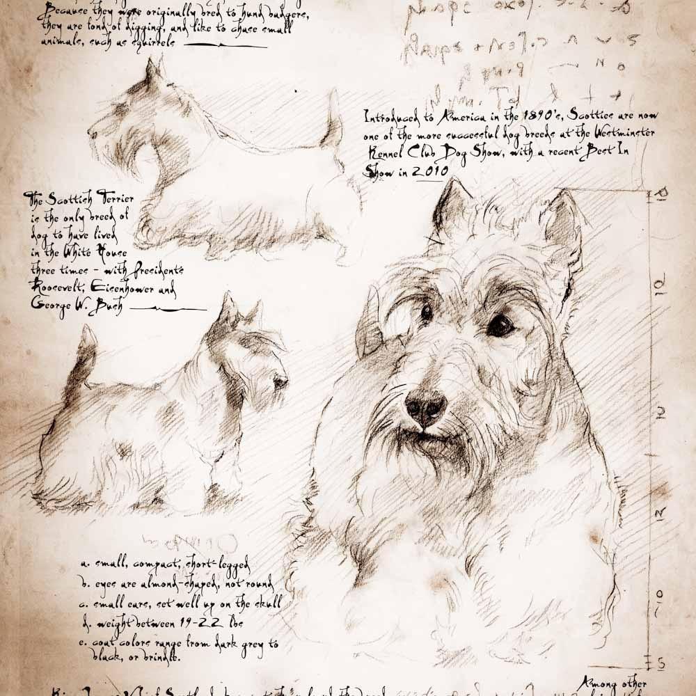 1000x1000 Scottish Terrier Study A Full Size Da Vinci Style Drawing