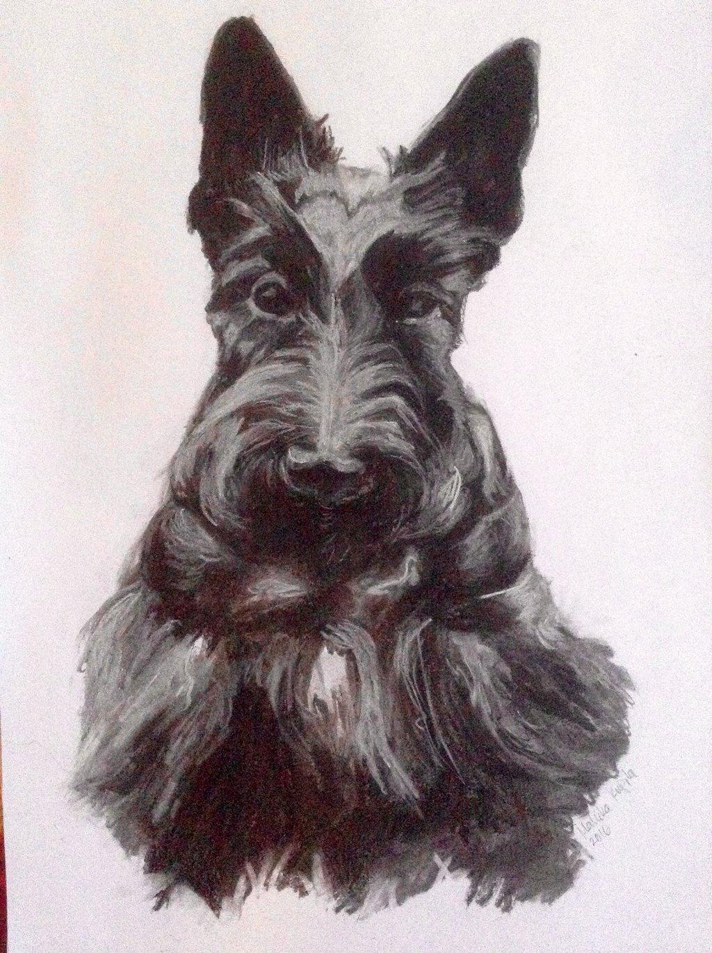1024x1371 Scottish Terrier 2 By Huvinarri