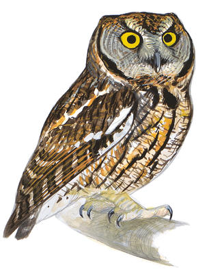 290x400 Eastern Screech Owl Audubon Field Guide