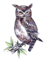 204x260 Eastern Screech Owl Drawing Drawing By Fr. Cyprian