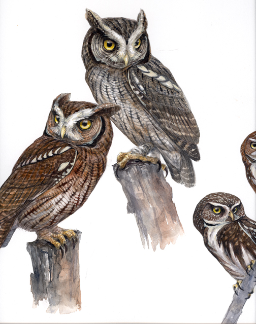 504x639 Owl Things Considered Owl Drawings, Screech Owl And Owl
