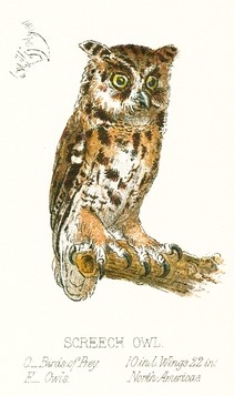 211x357 Vintage Screech Owl Drawing