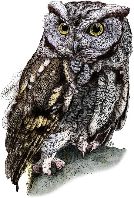 442x650 Western Screech Owl Stock Art Illustration