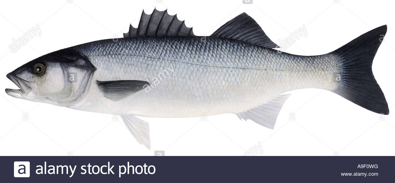 1300x603 Bass, Sea Bass (Dicentrarchus Labrax), Drawing Stock Photo
