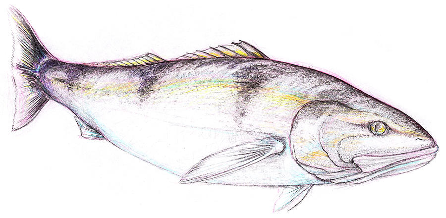 900x440 White Sea Bass Drawing By John Dinsdale