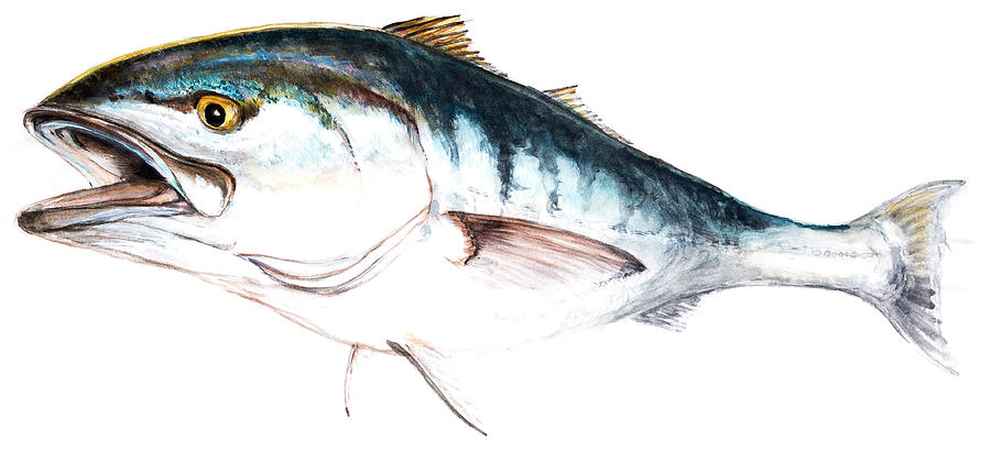 900x410 White Seabass Drawing By John Dinsdale