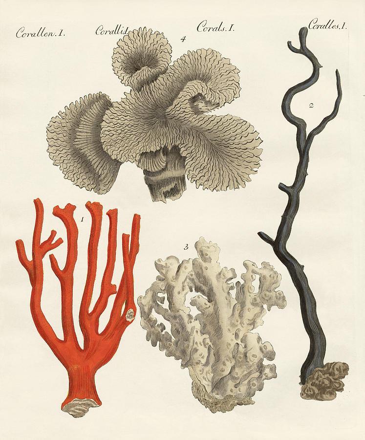 747x900 Corals Drawing By Splendid Art Prints