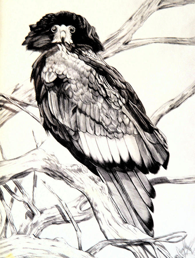 680x900 Majestic Russian Steller's Sea Eagle Drawing By Cheryl Poland