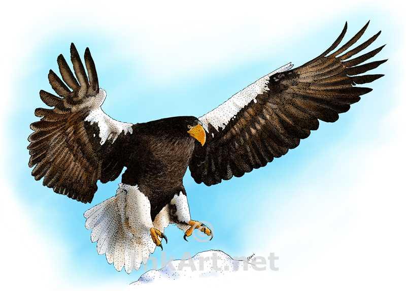 800x573 Steller's Sea Eagle (Haliaeetus Pelagicus) Line Art And Full Color