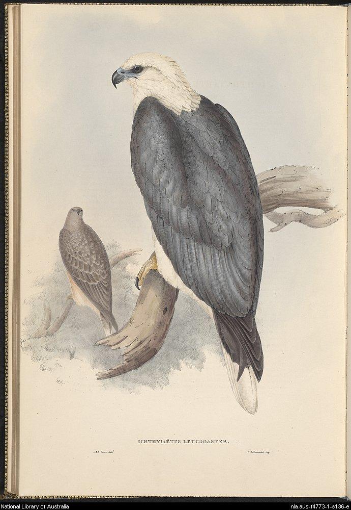 690x1000 White Bellied Sea Eagle
