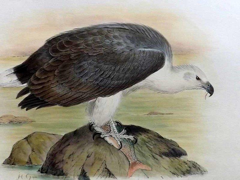 800x600 White Bellied Sea Eagle