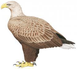 250x222 White Tailed Sea Eagle (Haliaeetus Albicilla) Hbw Alive