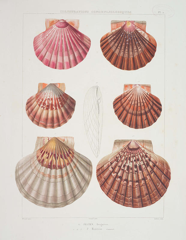 620x798 Museum Of Natural History Releases Vintage Drawings Of Seashells
