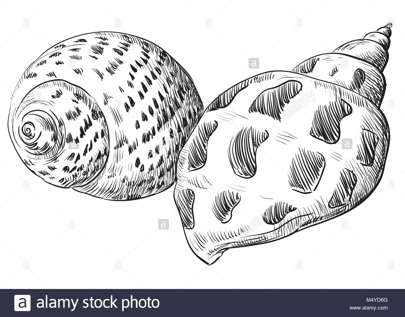 1300x1018 Sea Shell Drawing Cut Out Stock Images Amp Pictures