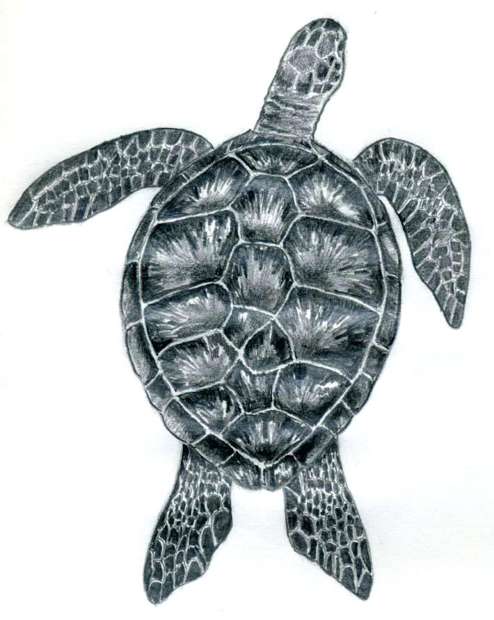 710x892 Sea Turtles Drawing Art Lesson How To Draw A Sea Turtle Step By