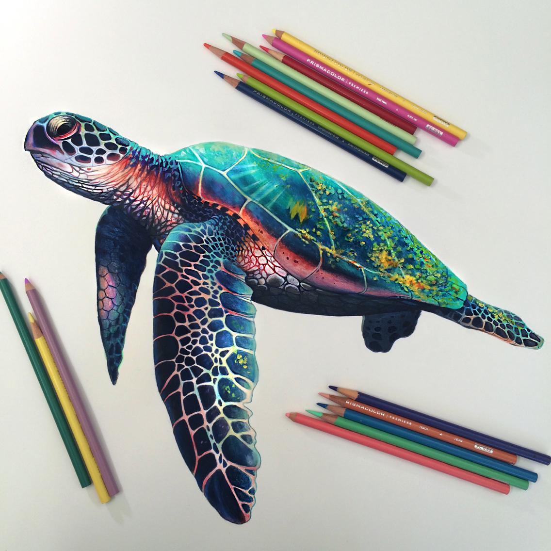1136x1136 Turtle Study Prismacolor Turtle, Coloured Pencils