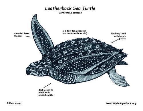 500x386 Leatherback Sea Turtles Tumblr