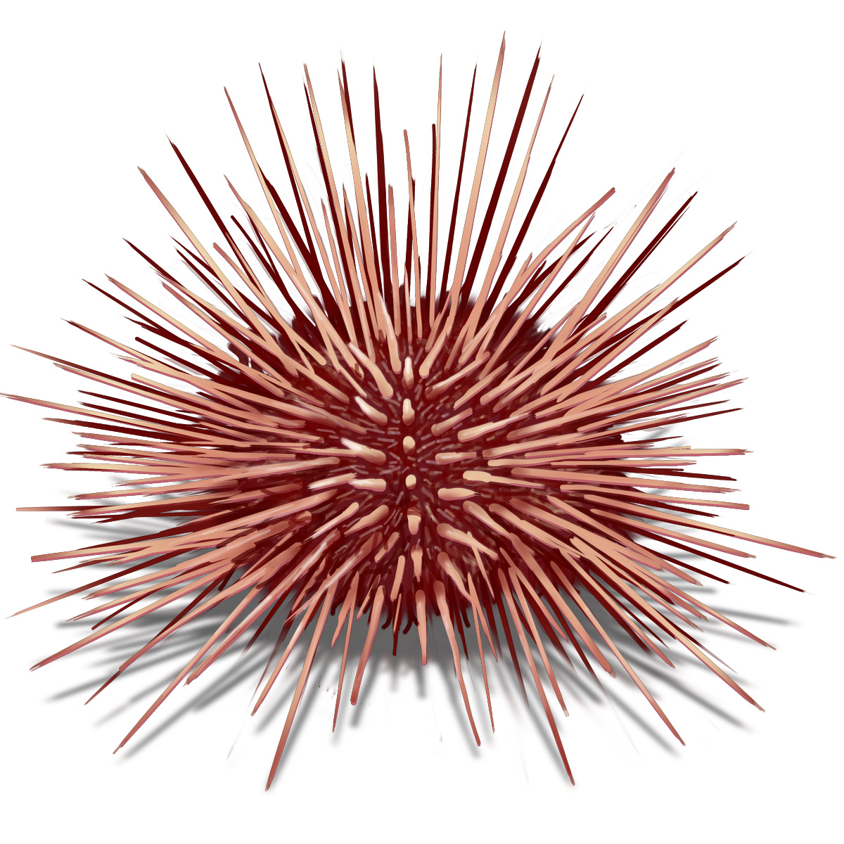 Sea Urchin Drawing at GetDrawings.com | Free for personal use Sea ...