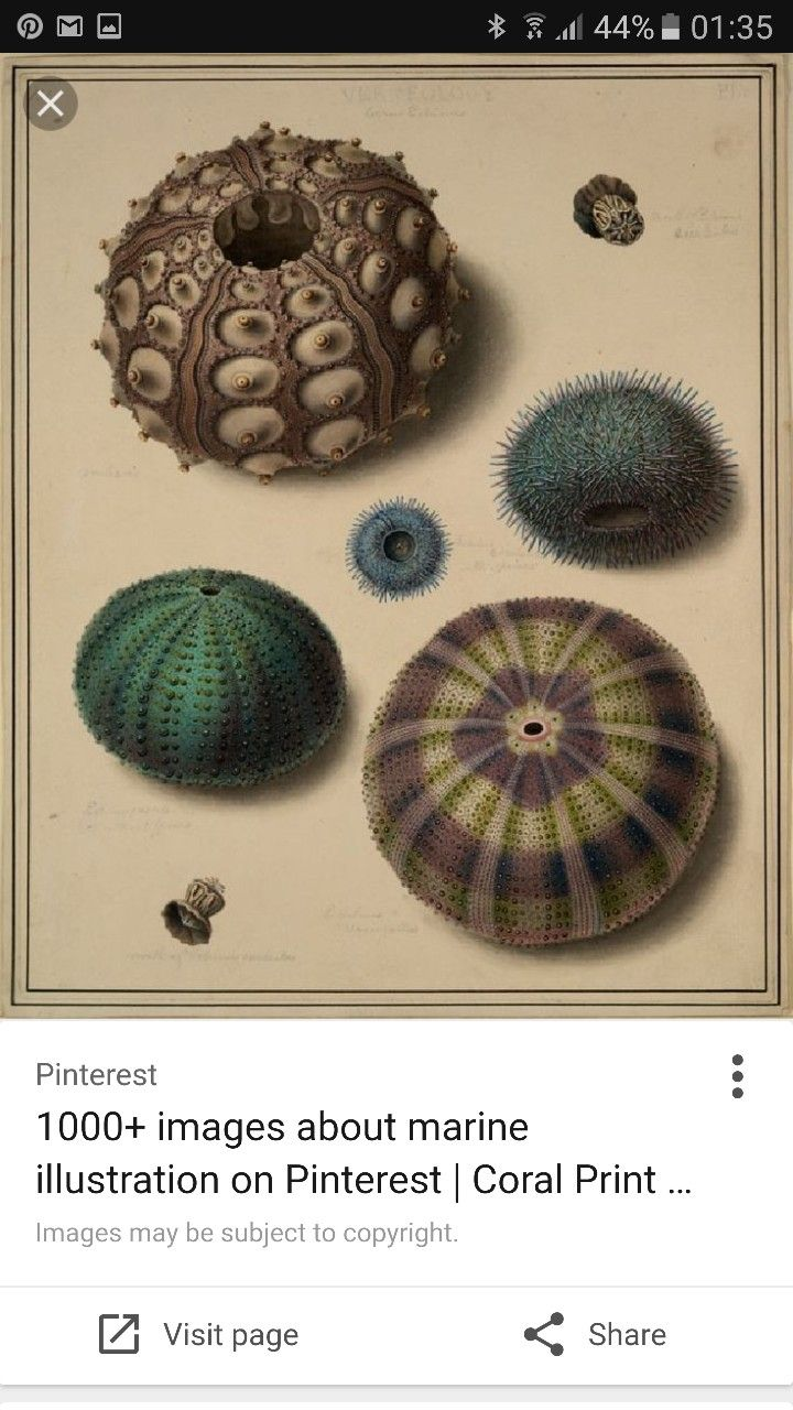 720x1280 472 Best Sea Urchin Images On Biology Drawing