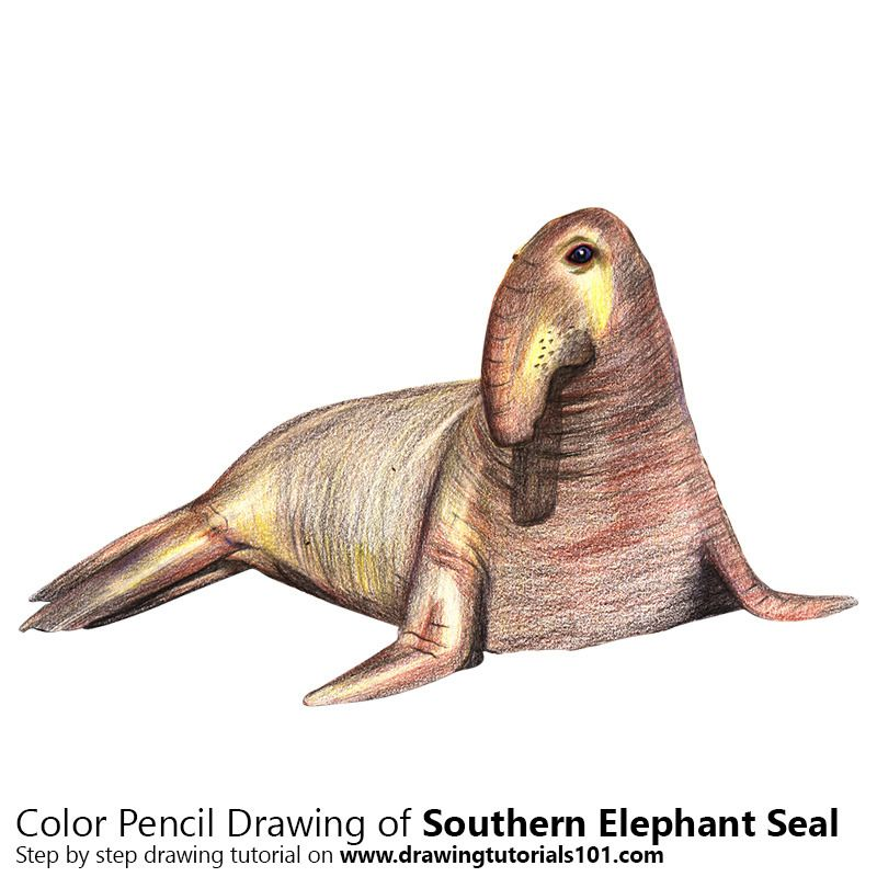 800x800 Southern Elephant Seal Drawing Tutorials Elephant Seal