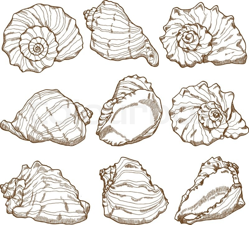 800x725 Hand Drawing Seashell Set Stock Vector Colourbox