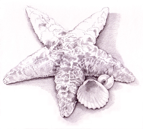 485x436 I Am Selling This Seashell (Drawing) By The Seashore Elyse Carter