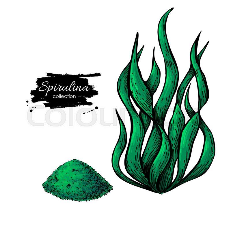 800x800 Spirulina Seaweed Powder Hand Drawn Vector. Isolated Spirulina