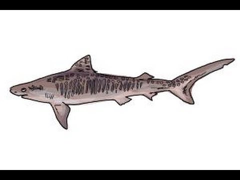 480x360 How To Draw A Tiger Shark
