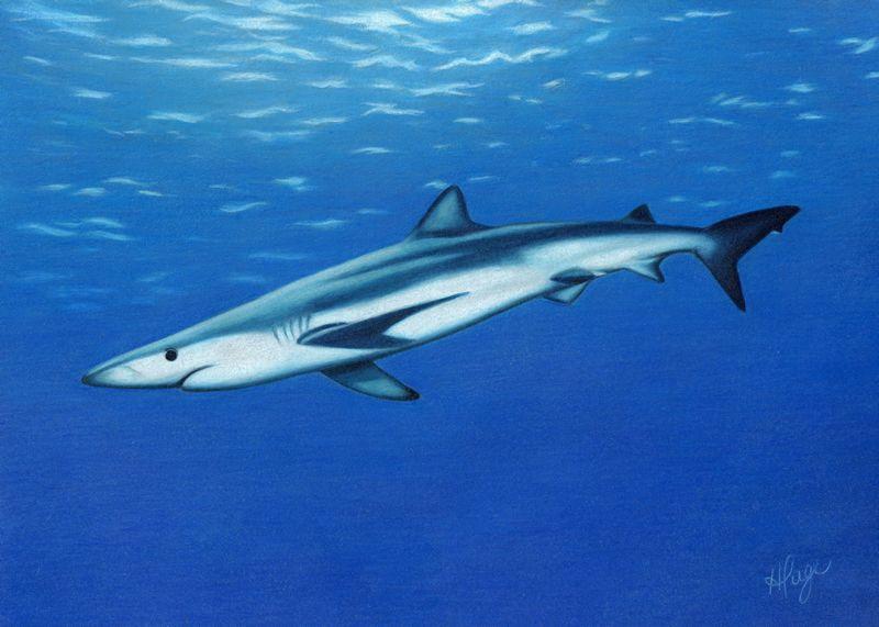 800x571 Shark Drawing Shadows Template