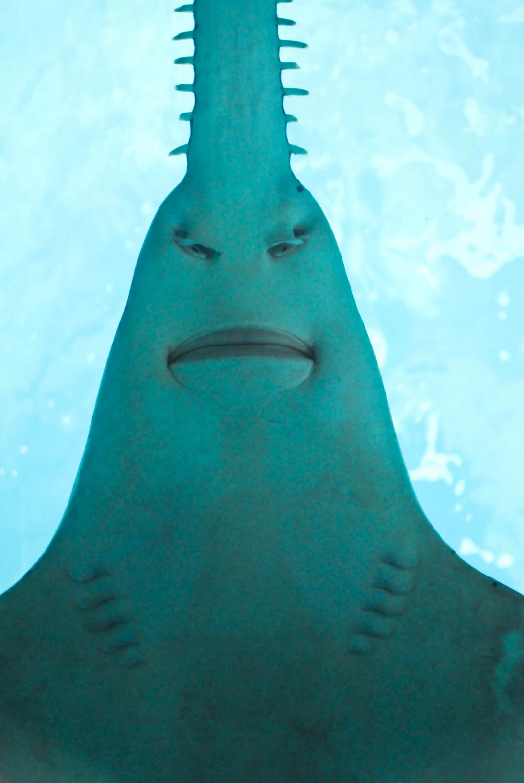 1071x1600 Saw Shark Face Photo And Wallpaper. Cute Saw Shark Face Pictures