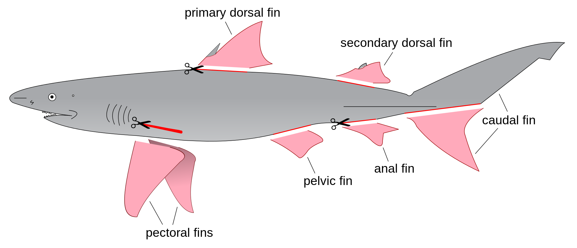 Girl Shark Diagram - Auto Electrical Wiring Diagram •