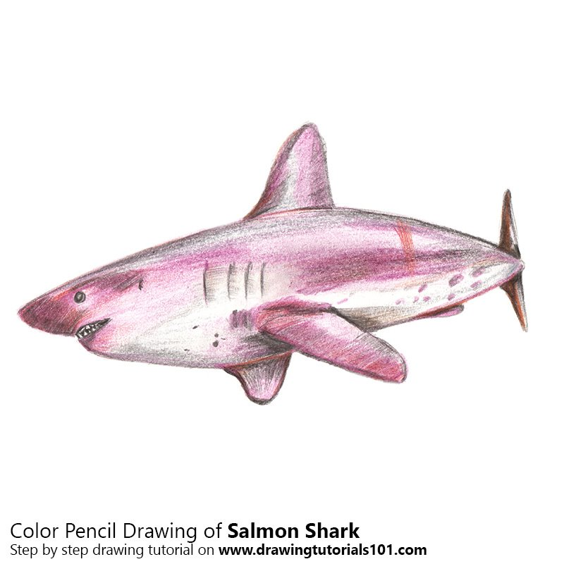 800x800 Salmon Shark Colored Pencils
