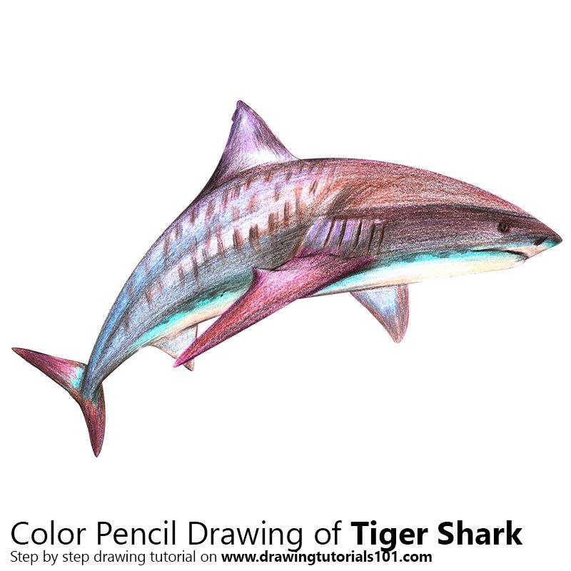 800x800 Tiger Shark Colored Pencils