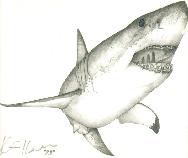 600x504 Large Drawing Of A Great White Shark Great White Shark By ~kh Fx
