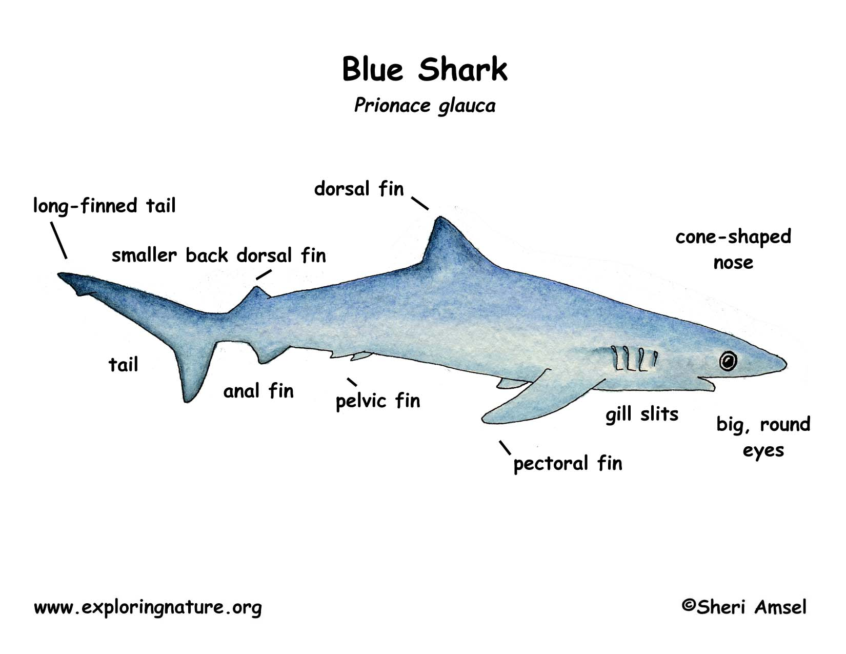 Sand Tiger Shark Diagrams Labels - Library Of Wiring Diagram •