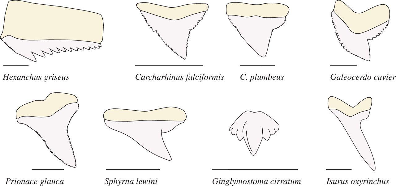 1280x602 Dynamic Testing Of Shark Teeth Open Science