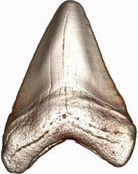 200x253 Great White Work Scientists Renew The Study Of Shark Teeth