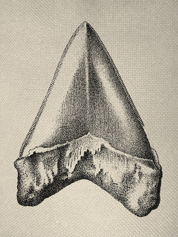 570x760 Shark Tooth Vintage Engraving Digital Graphic By Everythinggraphic