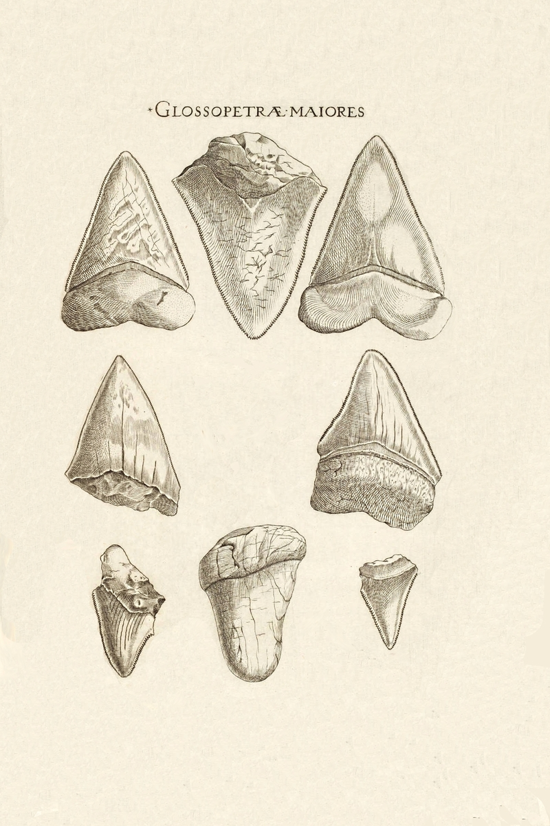 800x1200 Nicholas Steno's Fossil Shark Tooth Diagram
