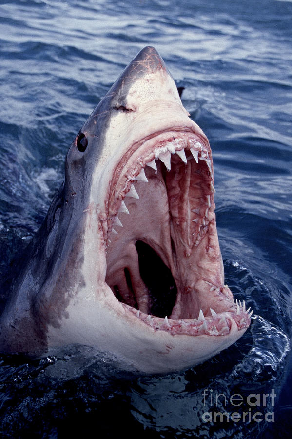 599x900 Great White Shark Lunging Out Of The Ocean With Mouth Open Showing