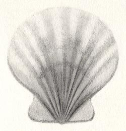 250x260 Draw A Scallop Shell In Six Steps Carol's Drawing Blog