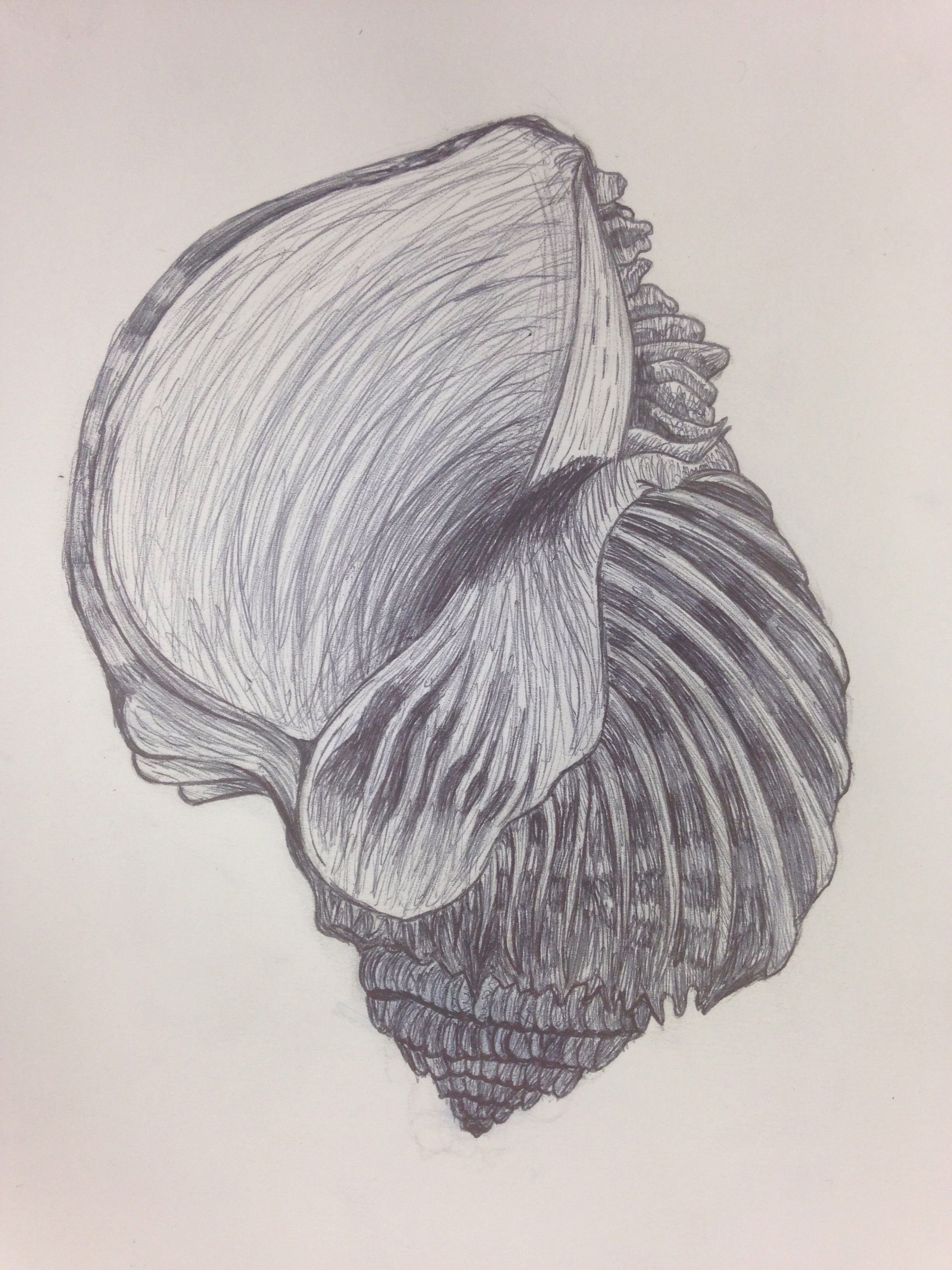 2448x3264 Shell Biro Drawing, Note The Curved Build Up Of Tone To Suggest 3