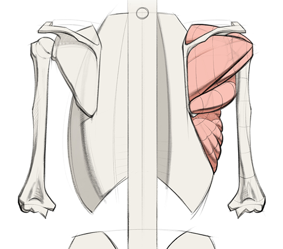 560x493 How To Draw Shoulder Muscles